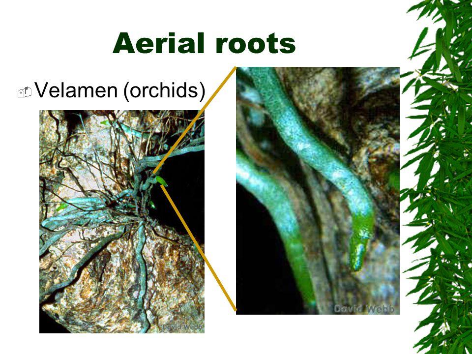 Aerial roots  Velamen (orchids)