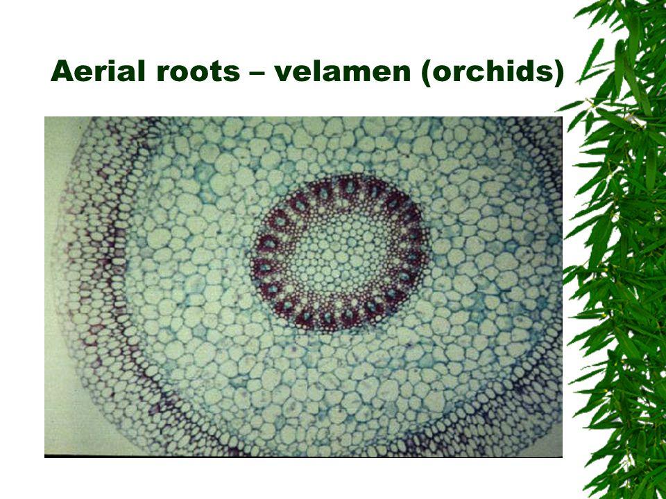 Aerial roots – velamen (orchids)