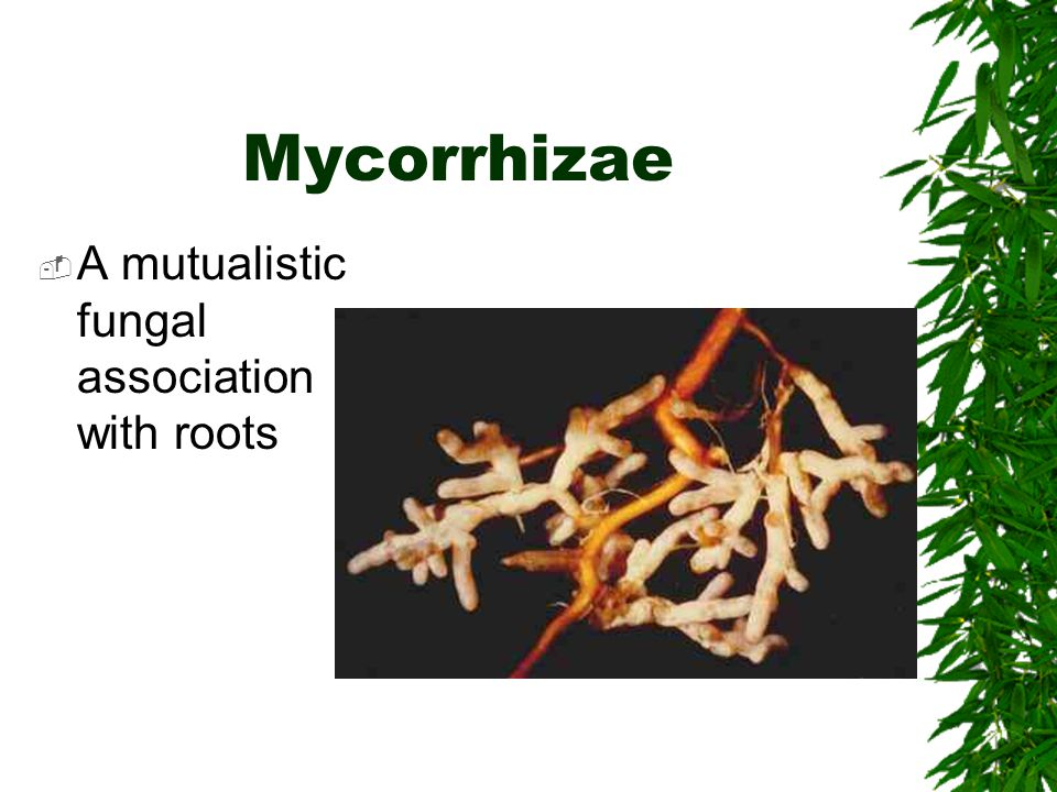Mycorrhizae  A mutualistic fungal association with roots