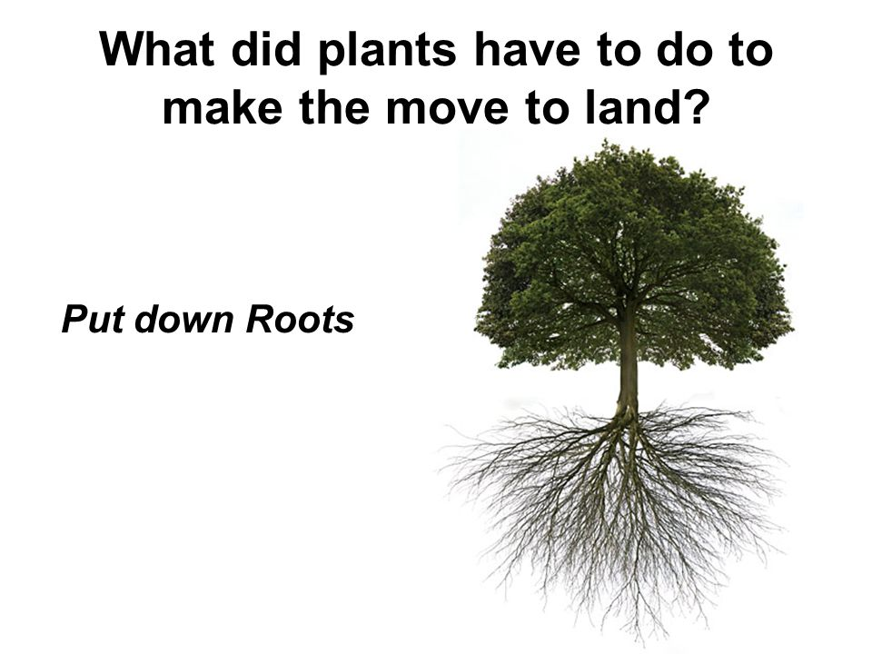 What did plants have to do to make the move to land? Put down Roots