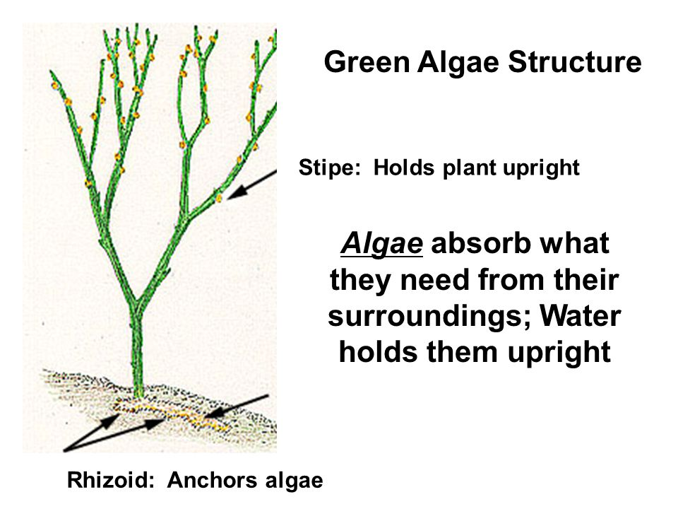 Stipe: Holds plant upright Rhizoid: Anchors algae Green Algae Structure Algae absorb what they need from their surroundings; Water holds them upright