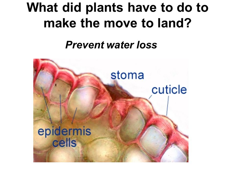 What did plants have to do to make the move to land? Prevent water loss