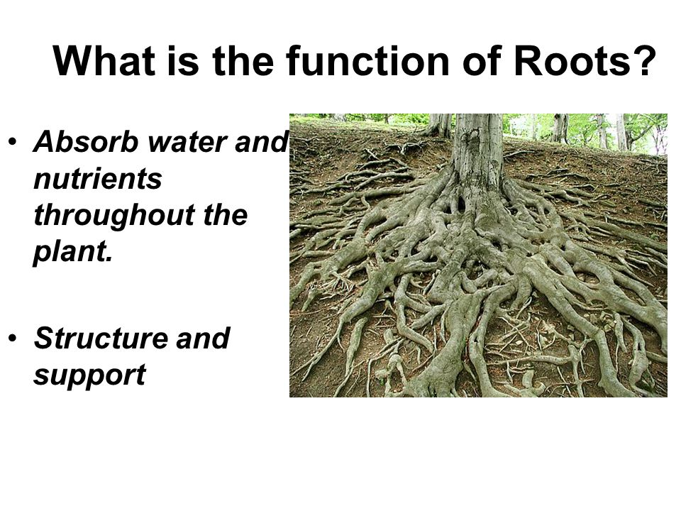 Absorb water and nutrients throughout the plant. Structure and support