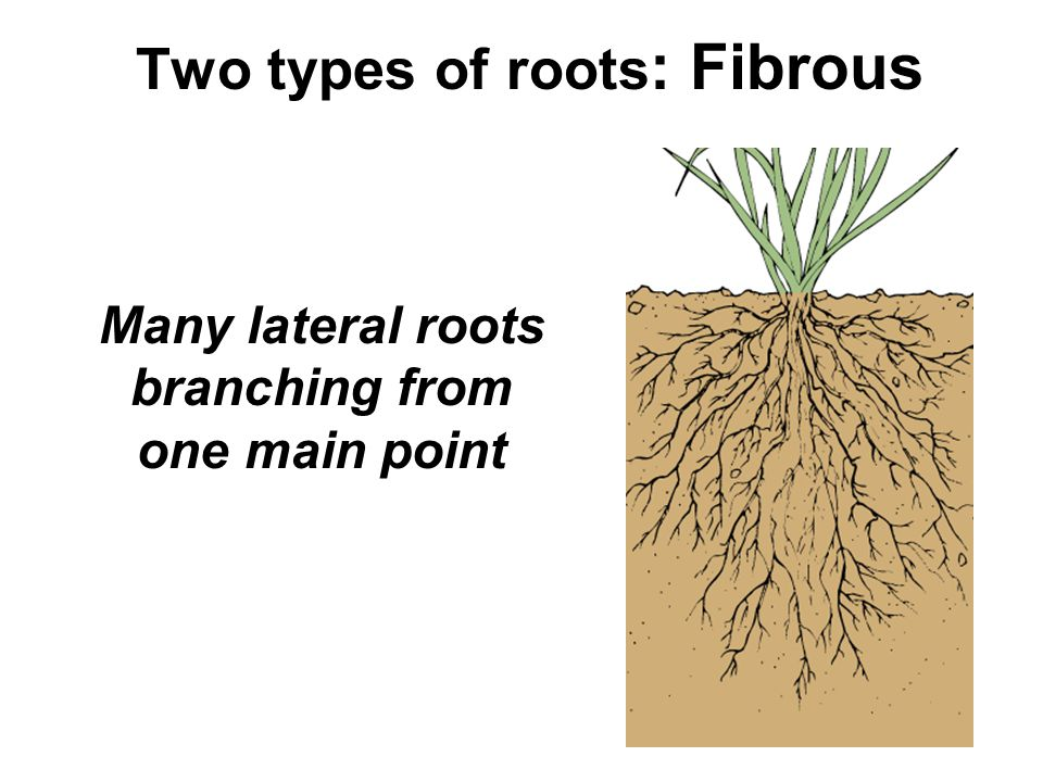 Two types of roots : Fibrous Many lateral roots branching from one main point