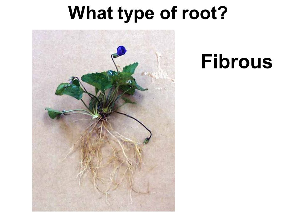 What type of root? Fibrous