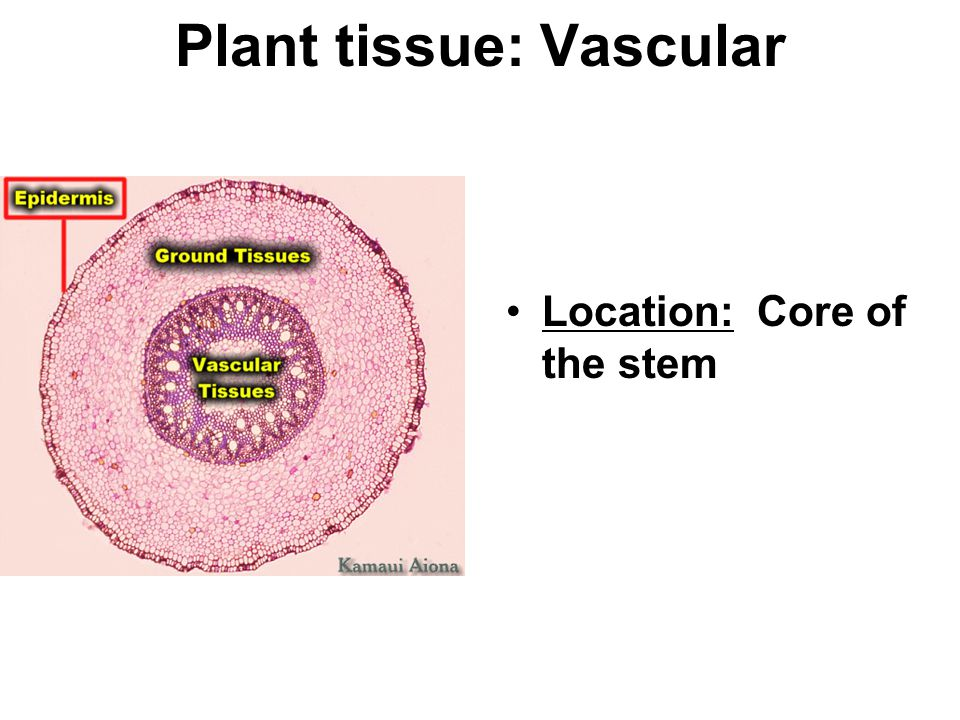 Plant tissue: Vascular Location: Core of the stem