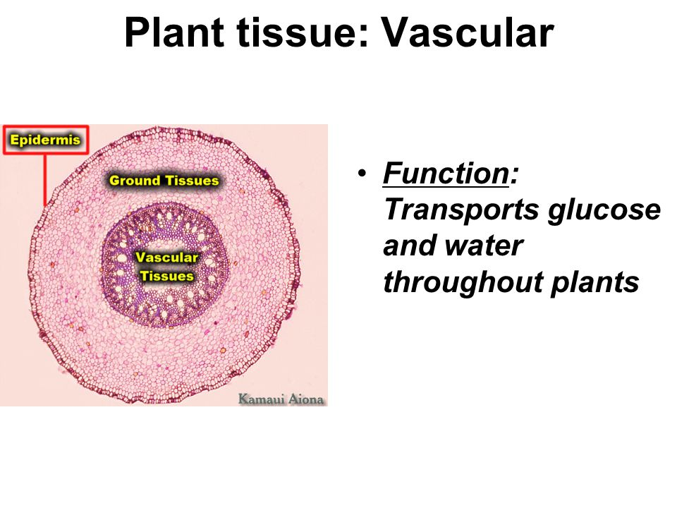 Plant tissue: Vascular Function: Transports glucose and water throughout plants