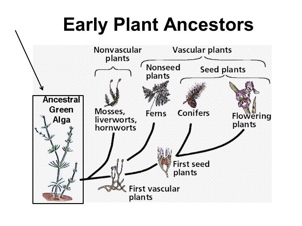 Early Plant Ancestors