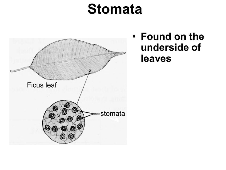 Stomata Found on the underside of leaves They are tiny openings that allow water and gases to move in and out the leaf.