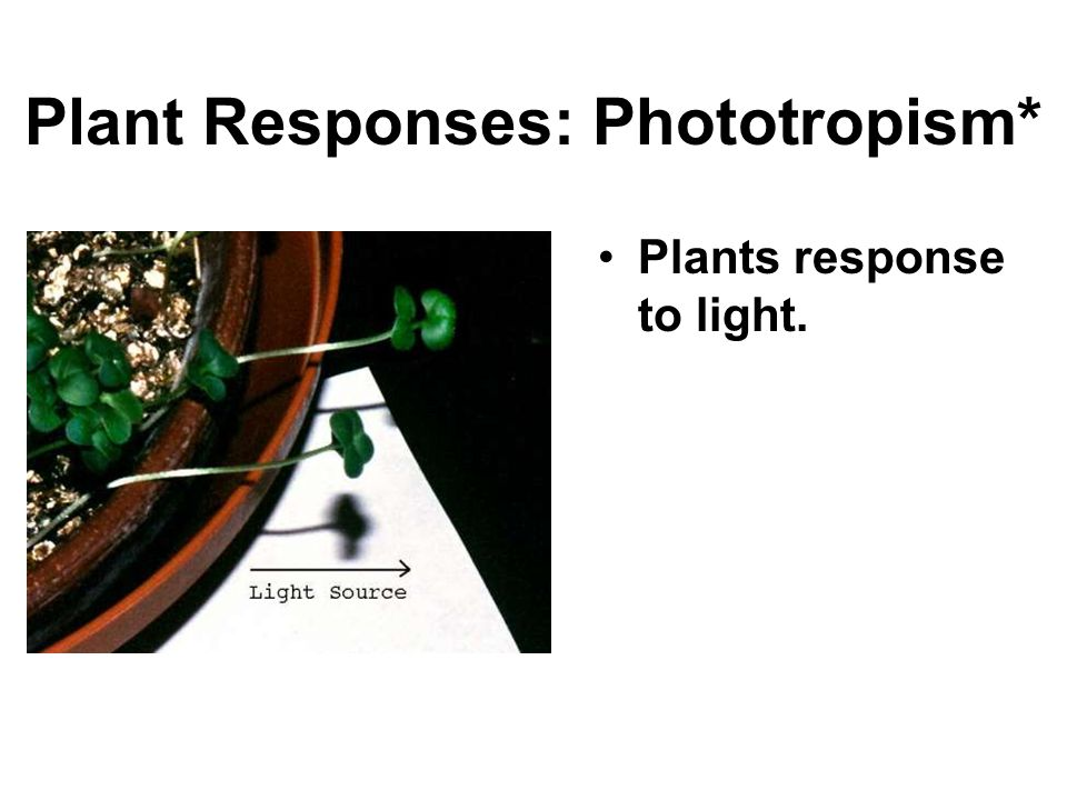Plant Responses: Phototropism* Plants response to light.