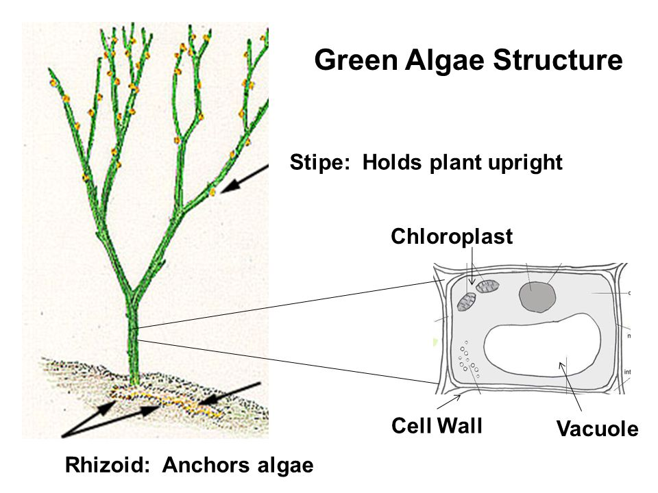 Stipe: Holds plant upright Rhizoid: Anchors algae Chloroplast Vacuole Cell Wall Green Algae Structure
