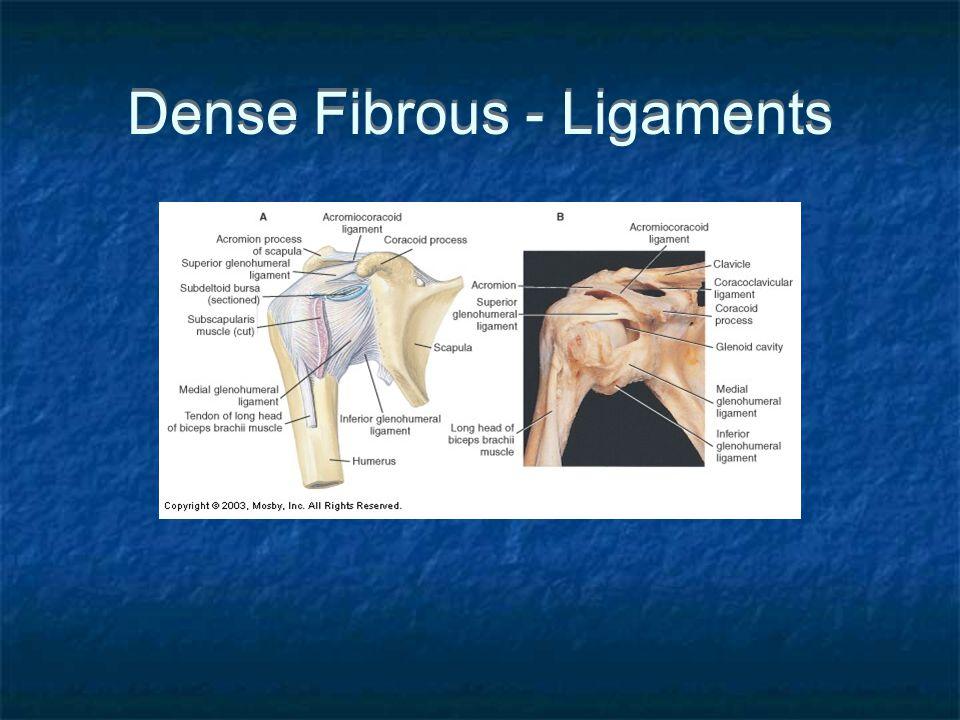 Dense Fibrous - Ligaments