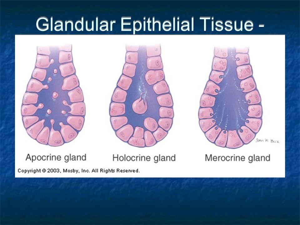 Glandular Epithelial Tissue - Apocrine, Holocrine, Merocrine