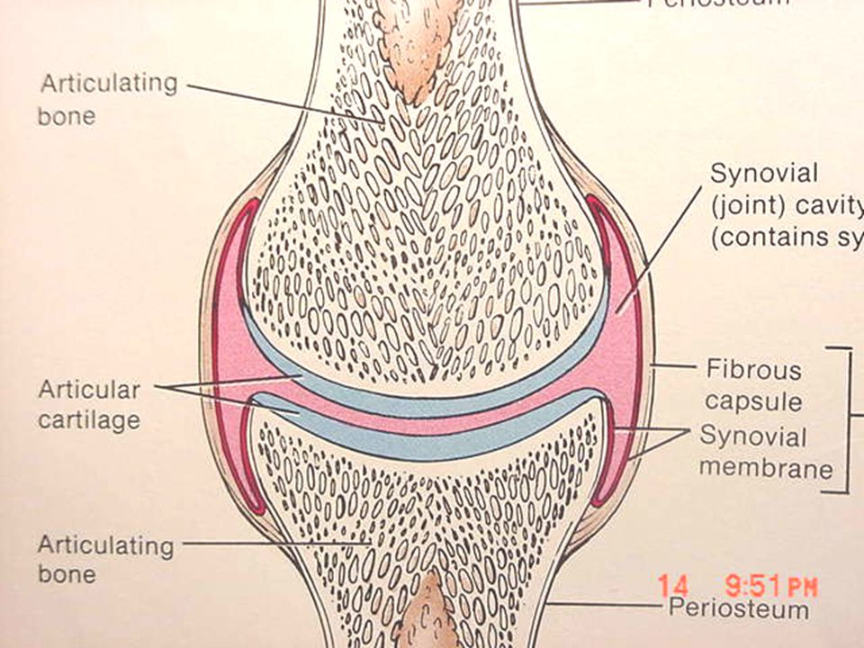 Diarthrotic Joints  Fully mobile  Aka – Synovial Joint  Contain a space called the synovial cavity and articular cartilage covering the bones of the joint.