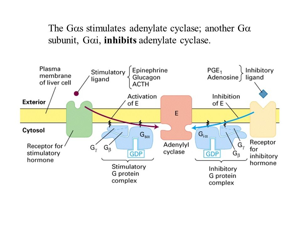 The G  s stimulates adenylate cyclase; another G  subunit, G  i, inhibits adenylate cyclase.
