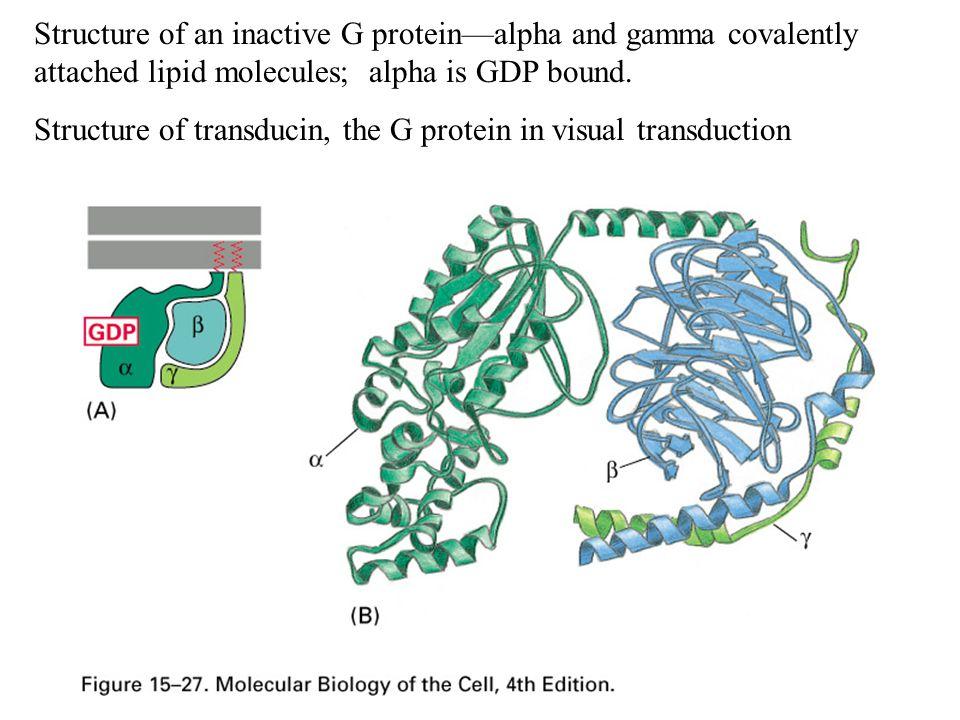 Cholera toxin: modifies G  s by adding an ADP ribosyl group.