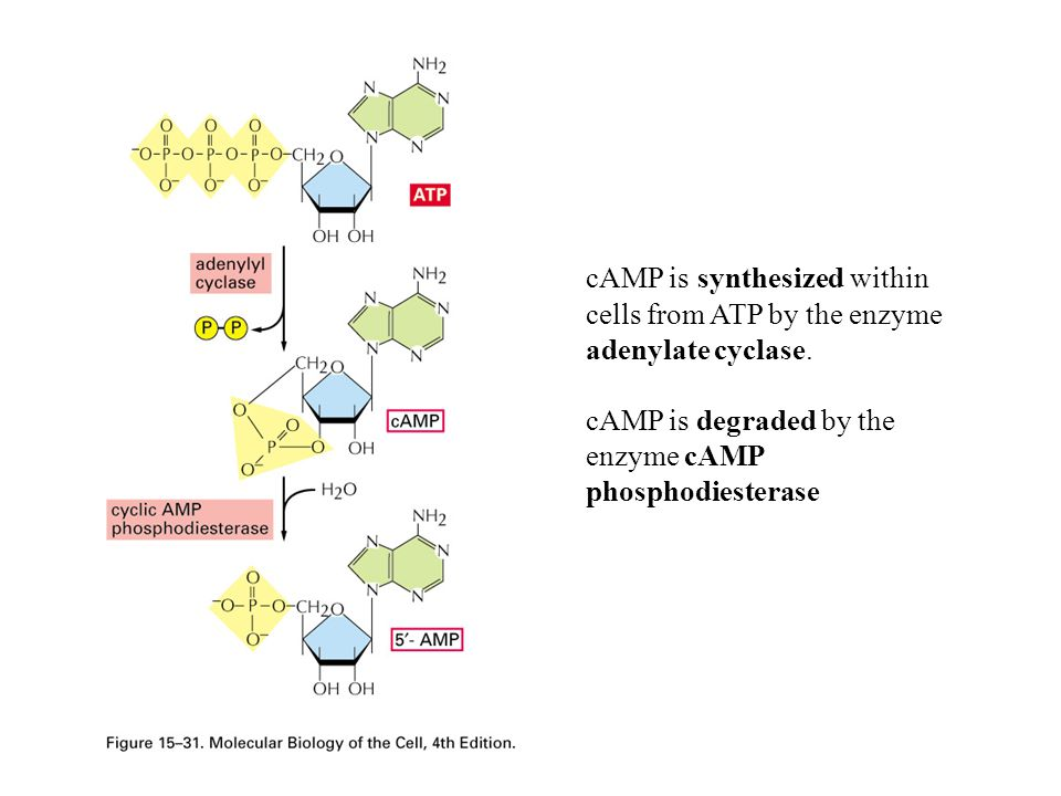 --The  -adrenergic receptor mediates the induction of epinephrine-initiated cAMP synthesis.