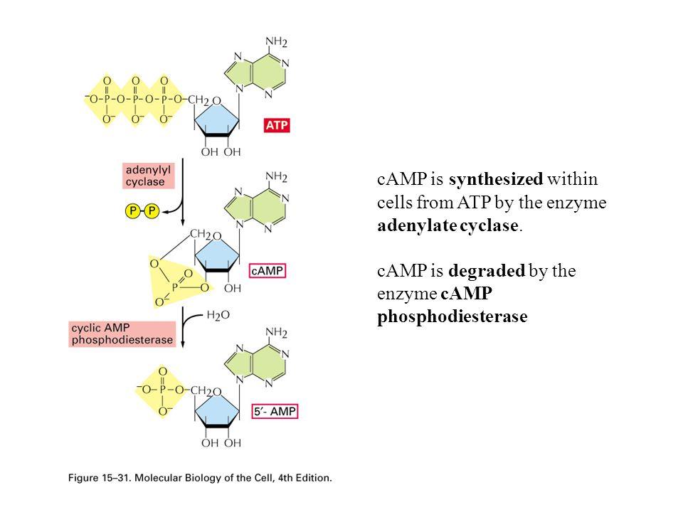 The G  s stimulates adenylate cyclase; another G  subunit, G  i, inhibits adenylate cyclase.
