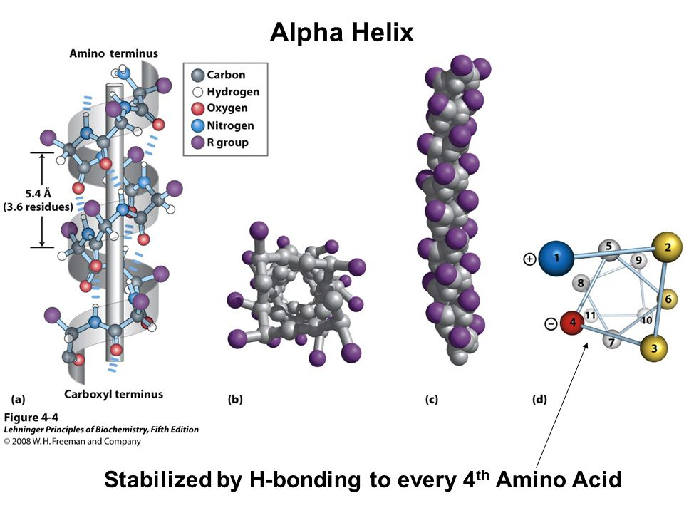 Alpha Helix Stabilized by H-bonding to every 4 th Amino Acid