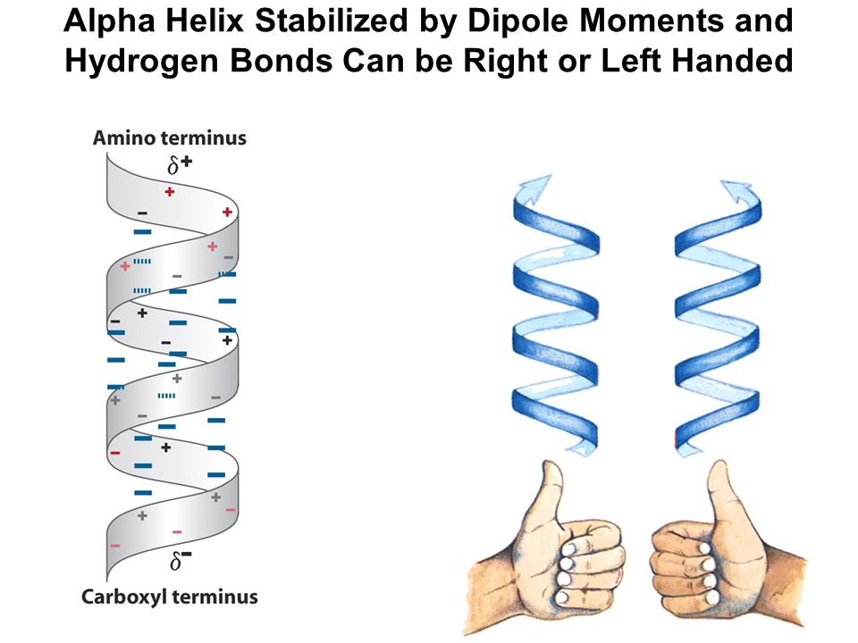 Alpha Helix Stabilized by Dipole Moments and Hydrogen Bonds Can be Right or Left Handed