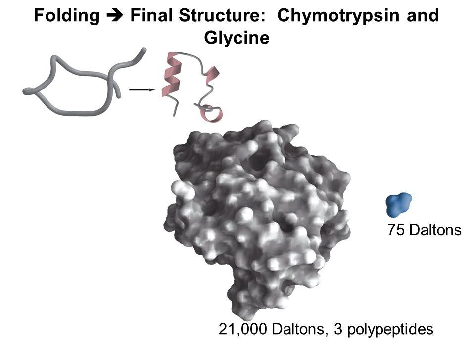Folding  Final Structure: Chymotrypsin and Glycine 75 Daltons 21,000 Daltons, 3 polypeptides