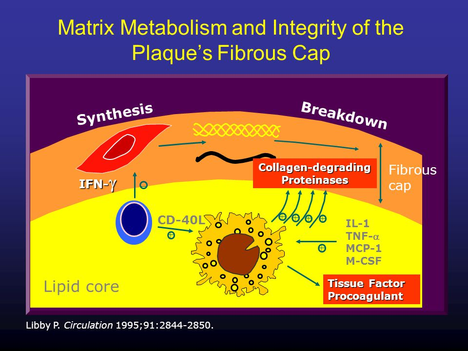 Matrix Metabolism and Integrity of the Plaque's Fibrous Cap Libby P.