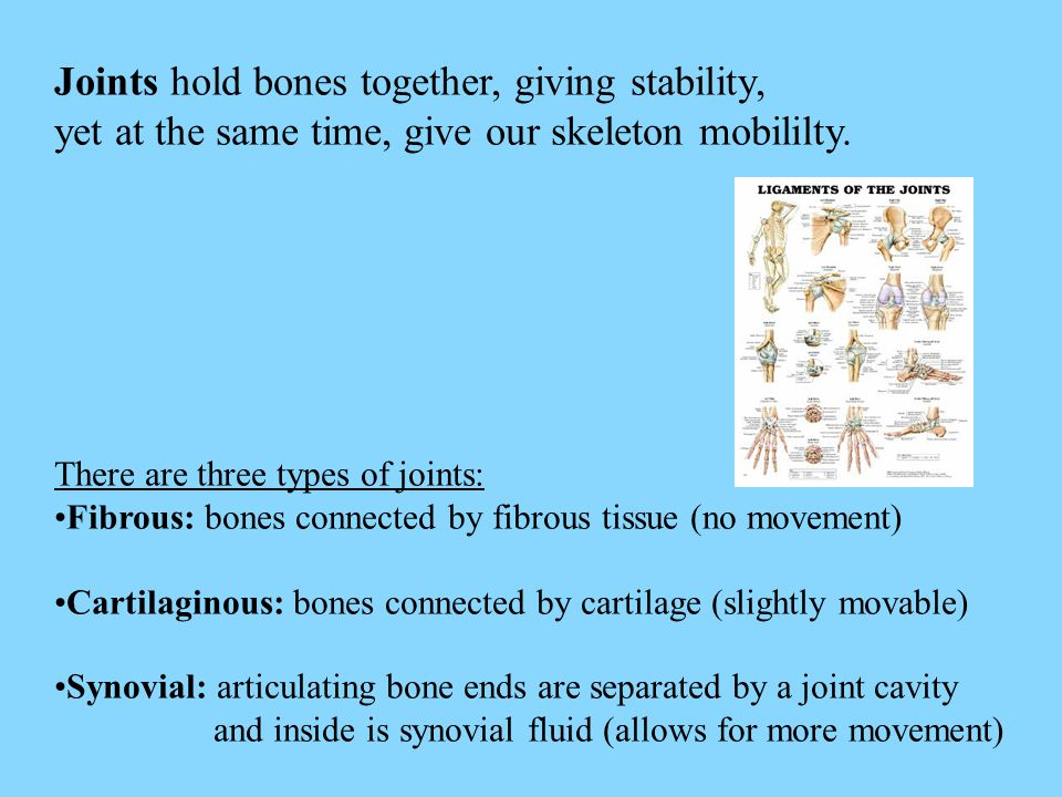 Joints hold bones together, giving stability, yet at the same time, give our skeleton mobililty. There are three types of joints: Fibrous: bones conne
