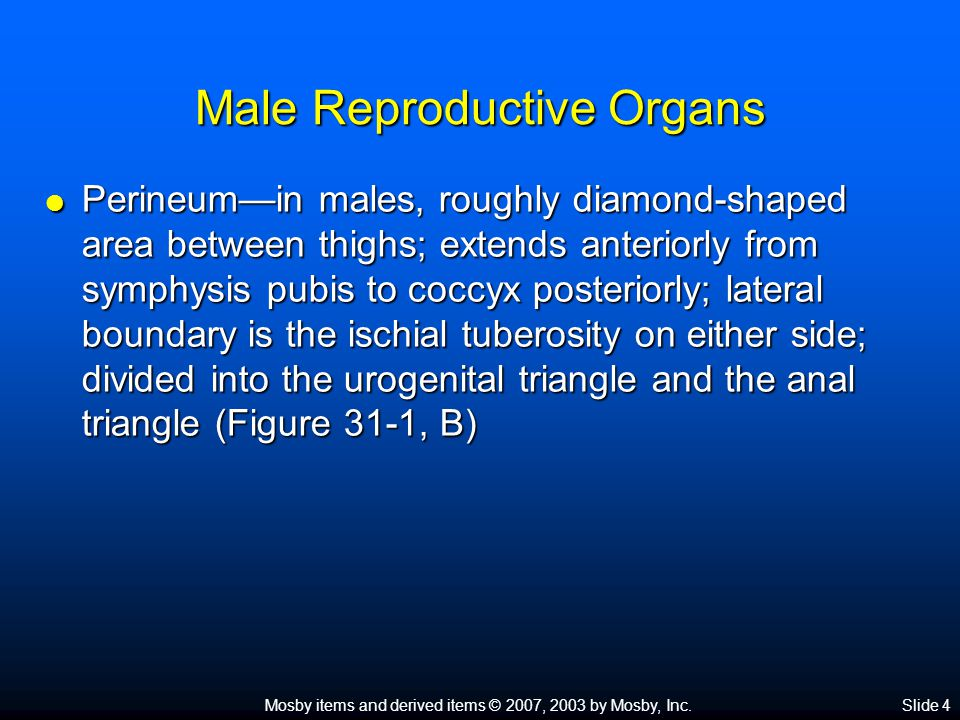 Mosby items and derived items © 2007, 2003 by Mosby, Inc.Slide 4 Male Reproductive Organs  Perineum—in males, roughly diamond-shaped area between thi