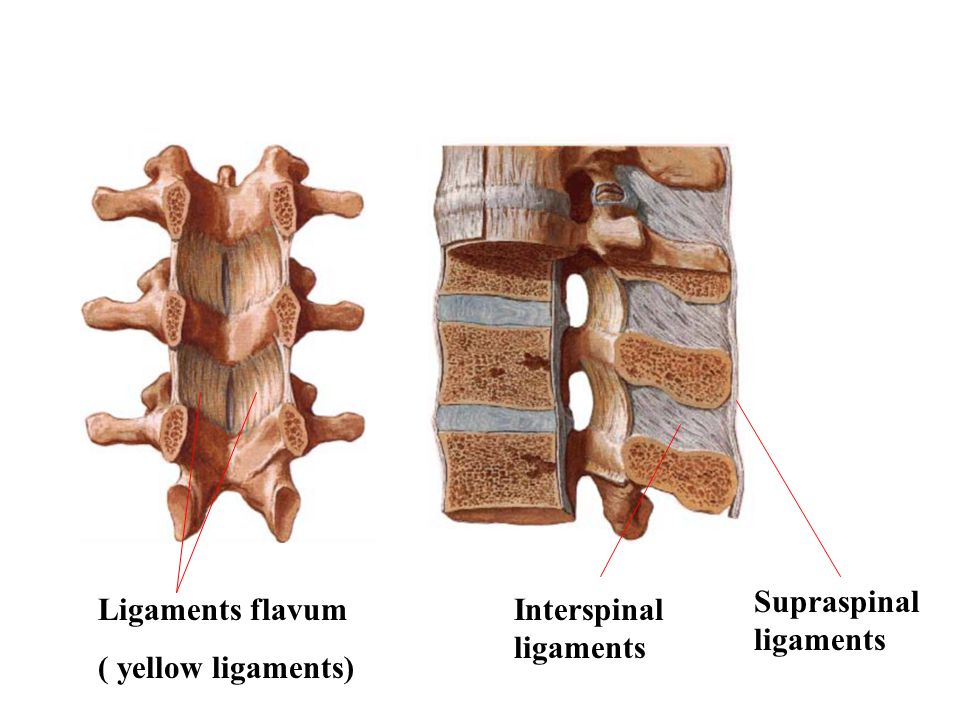 Ligaments flavum ( yellow ligaments) Interspinal ligaments Supraspinal ligaments