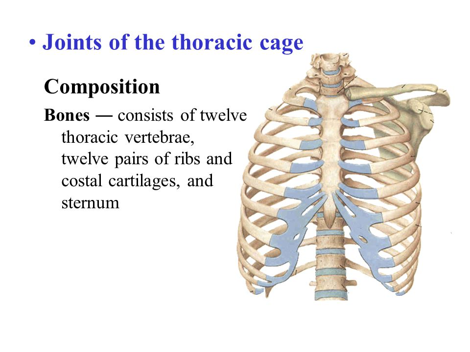 Joints of the thoracic cage Composition Bones ― consists of twelve thoracic vertebrae, twelve pairs of ribs and costal cartilages, and sternum