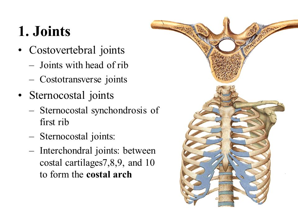1. Joints Costovertebral joints –Joints with head of rib –Costotransverse joints Sternocostal joints –Sternocostal synchondrosis of first rib –Sternoc