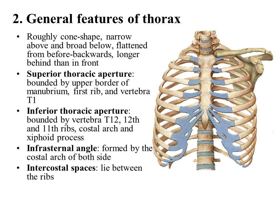 2. General features of thorax Roughly cone-shape, narrow above and broad below, flattened from before-backwards, longer behind than in front Superior