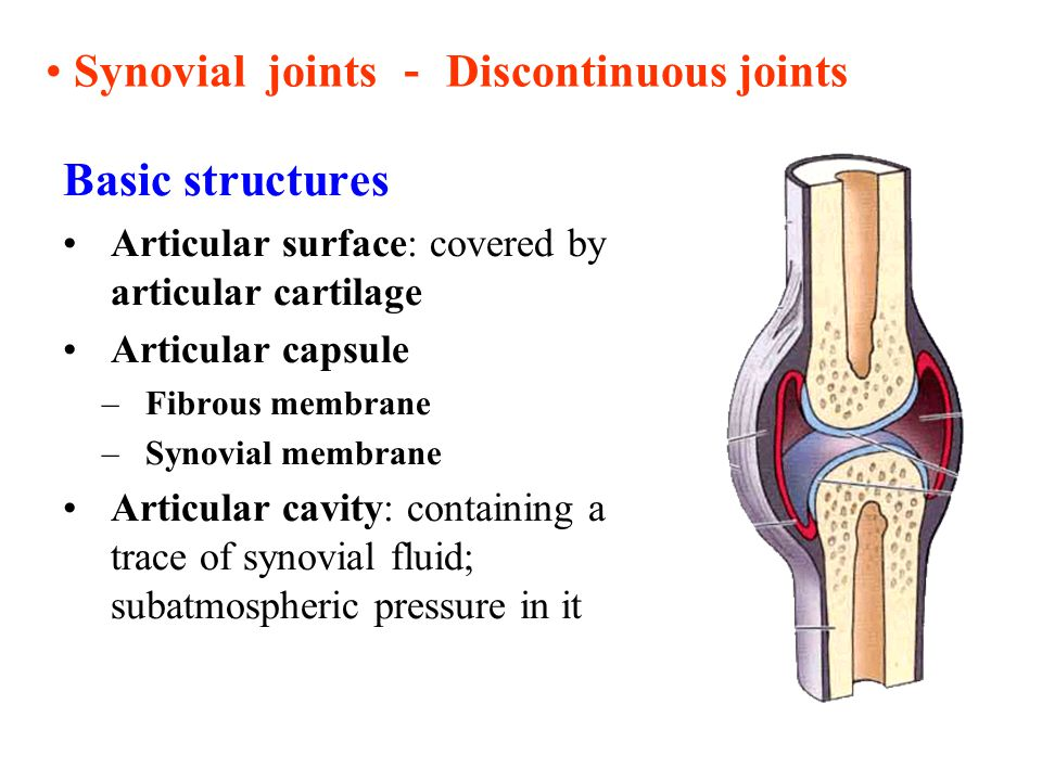 Synovial joints - Discontinuous joints Basic structures Articular surface: covered by articular cartilage Articular capsule –Fibrous membrane –Synovia
