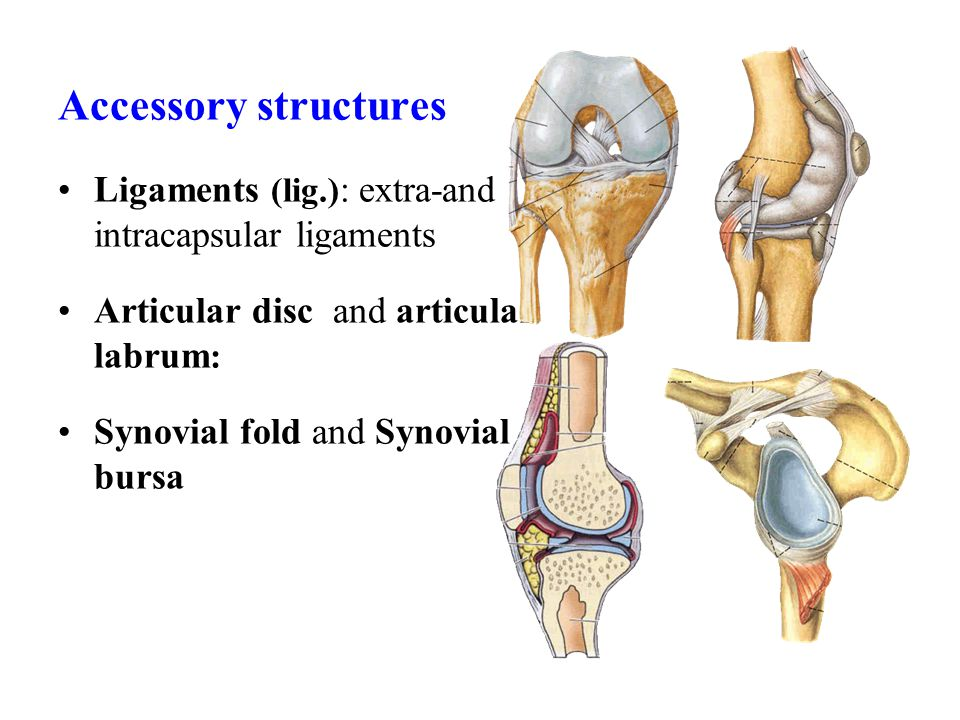 Accessory structures Ligaments (lig.) : extra-and intracapsular ligaments Articular disc and articular labrum : Synovial fold and Synovial bursa