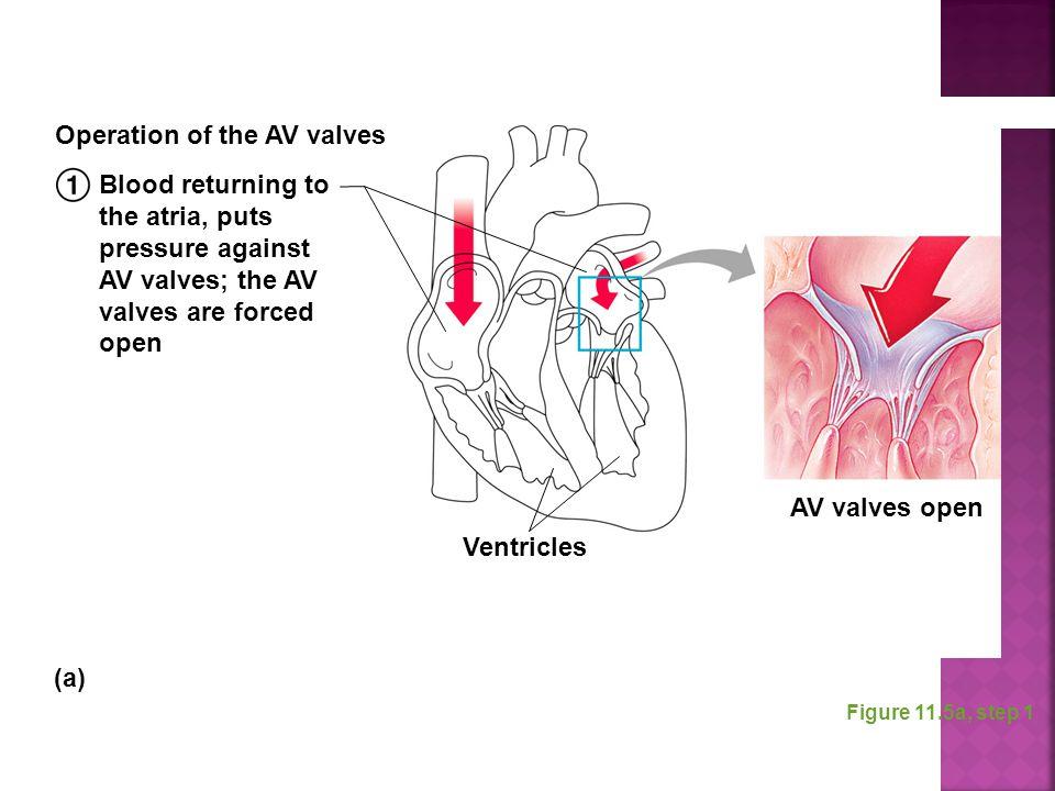 Figure 11.5a, step 1 Blood returning to the atria, puts pressure against AV valves; the AV valves are forced open Ventricles Operation of the AV valve