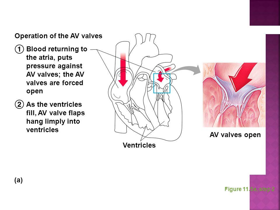 Figure 11.5a, step 2 Blood returning to the atria, puts pressure against AV valves; the AV valves are forced open As the ventricles fill, AV valve fla