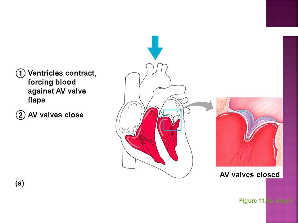 Figure 11.5a, step 5 Ventricles contract, forcing blood against AV valve flaps AV valves close AV valves closed (a)