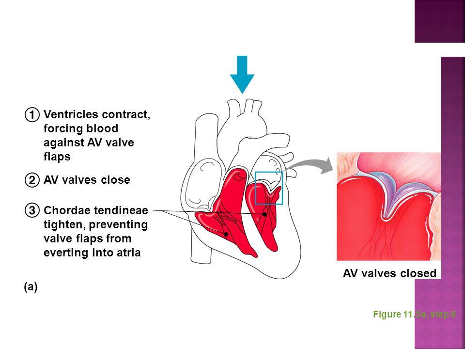 Figure 11.5a, step 6 Ventricles contract, forcing blood against AV valve flaps AV valves close Chordae tendineae tighten, preventing valve flaps from
