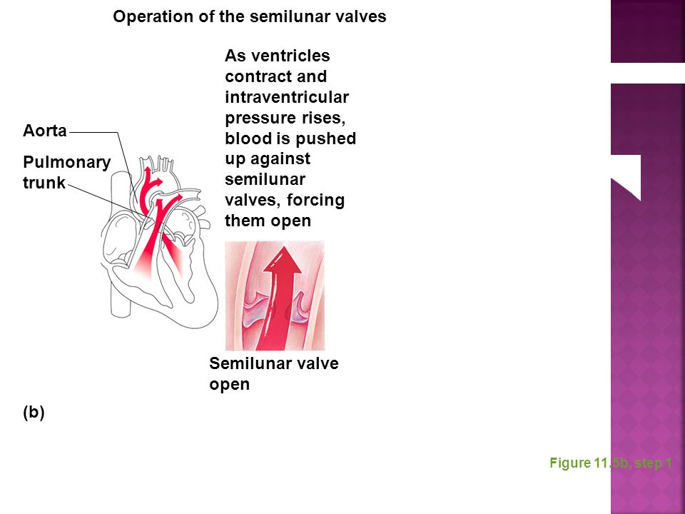 Figure 11.5b, step 1 As ventricles contract and intraventricular pressure rises, blood is pushed up against semilunar valves, forcing them open Aorta