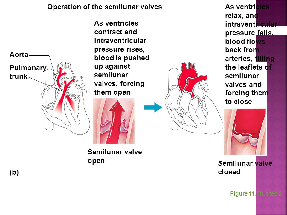 Figure 11.5b, step 2 As ventricles contract and intraventricular pressure rises, blood is pushed up against semilunar valves, forcing them open Aorta