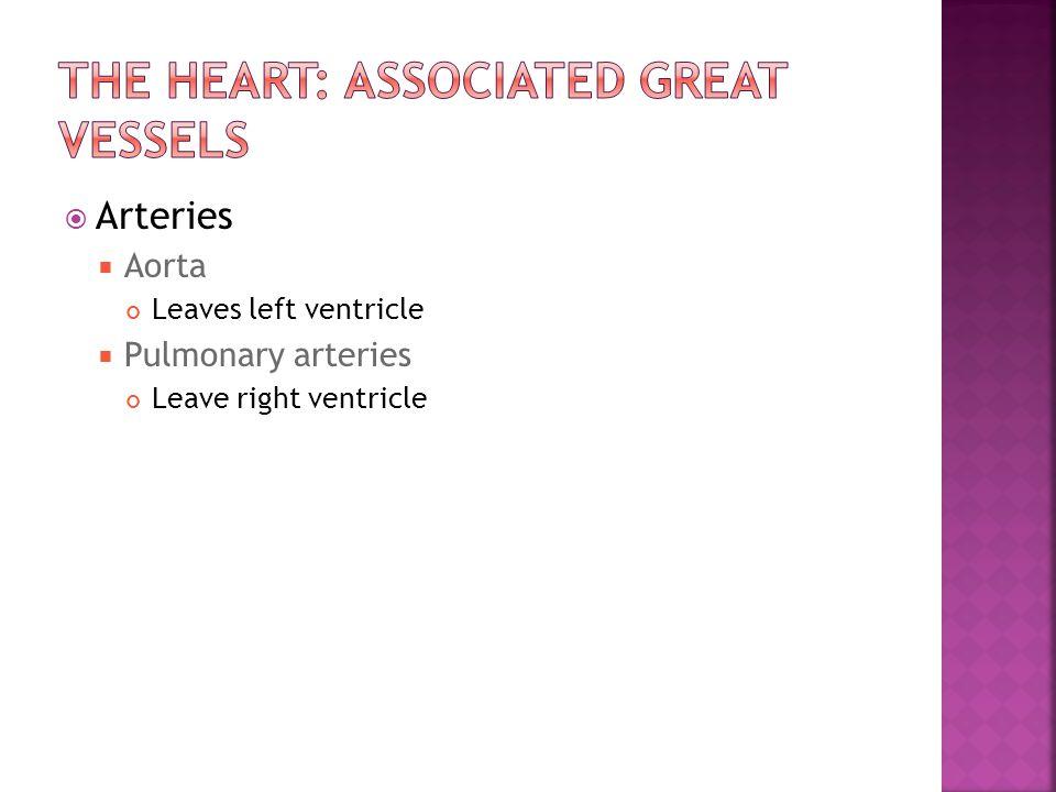  Arteries  Aorta Leaves left ventricle  Pulmonary arteries Leave right ventricle