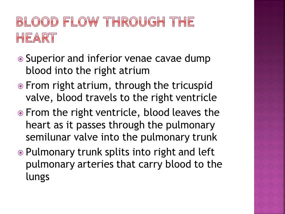  Superior and inferior venae cavae dump blood into the right atrium  From right atrium, through the tricuspid valve, blood travels to the right vent