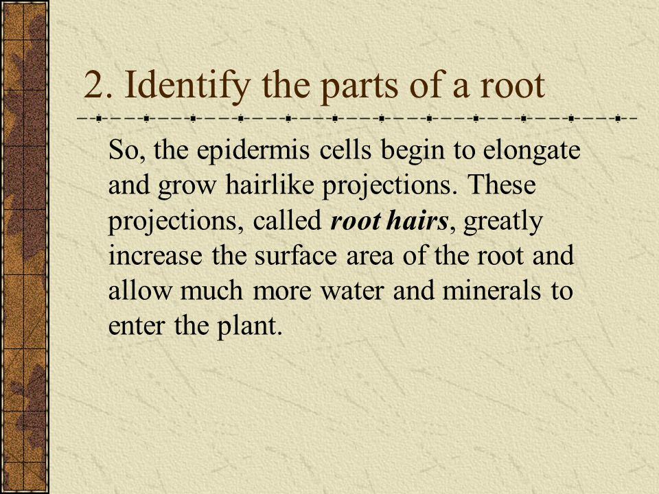 So, the epidermis cells begin to elongate and grow hairlike projections.