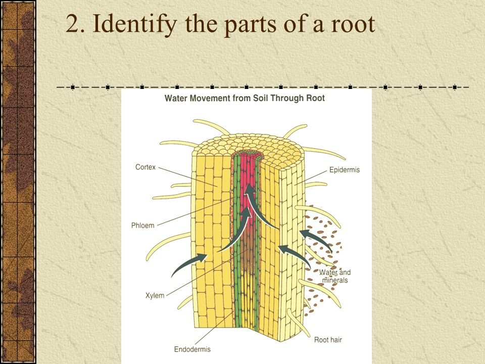 2. Identify the parts of a root