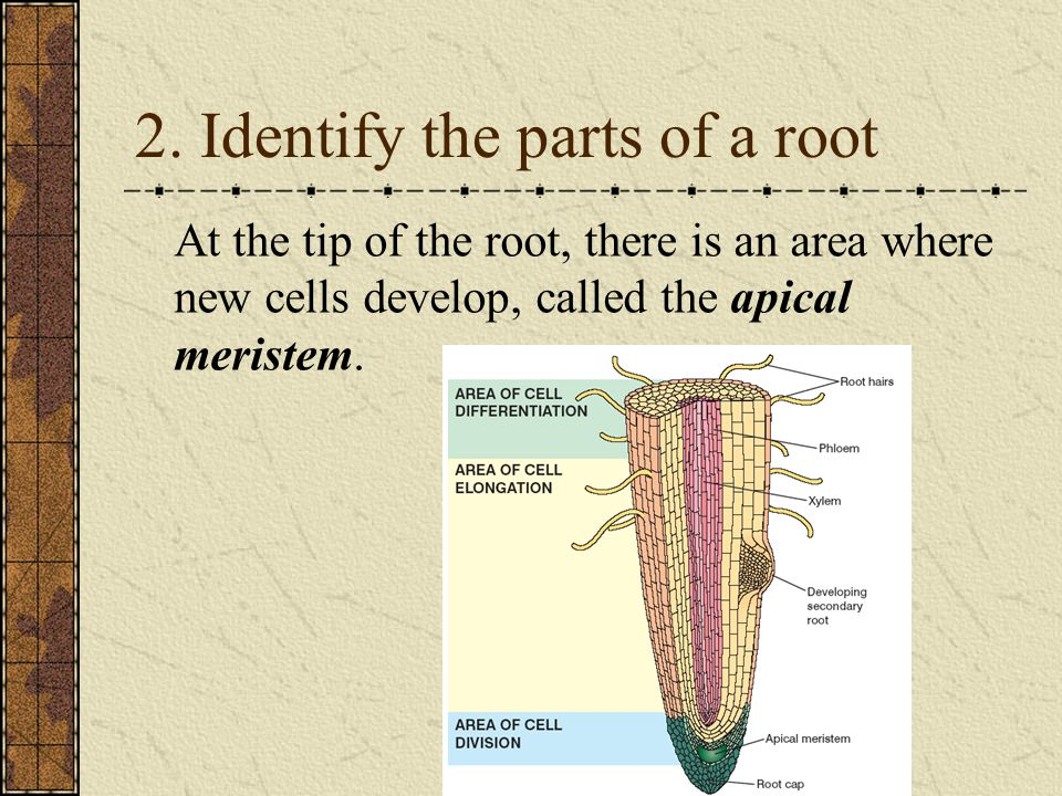 At the tip of the root, there is an area where new cells develop, called the apical meristem.