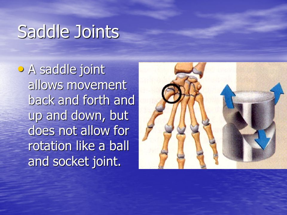 Saddle Joints A saddle joint allows movement back and forth and up and down, but does not allow for rotation like a ball and socket joint.