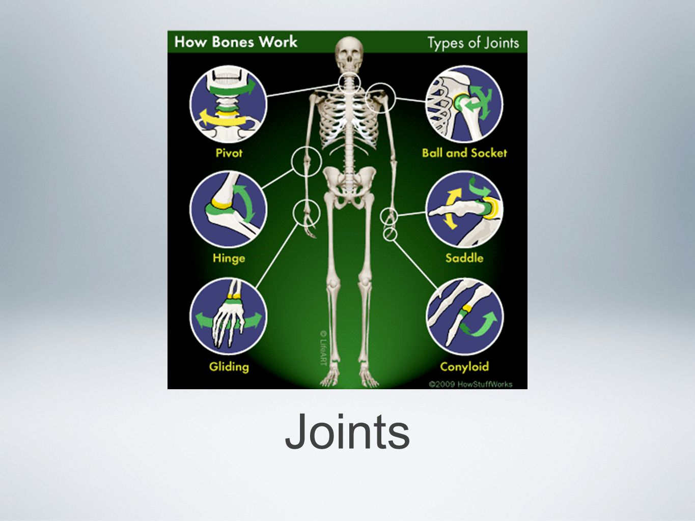 Now that we know all of the bones we need to look at the joints of the skeleton Joints, also called articulations, have two main functions They hold bones together securely They give the rigid skeleton mobility