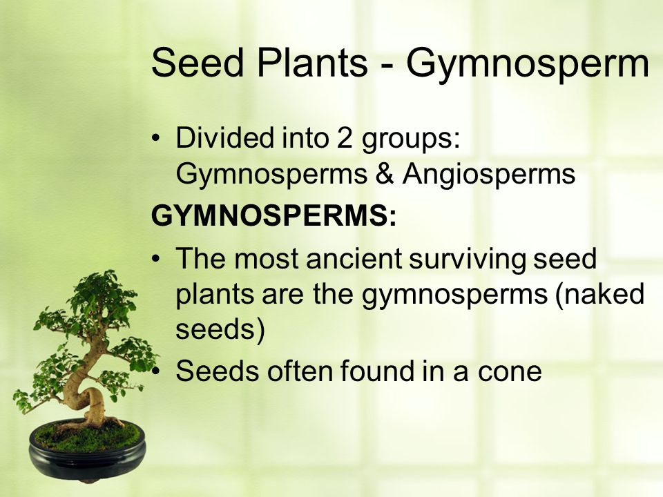 Seed Plants - Gymnosperm Divided into 2 groups: Gymnosperms & Angiosperms GYMNOSPERMS: The most ancient surviving seed plants are the gymnosperms (nak
