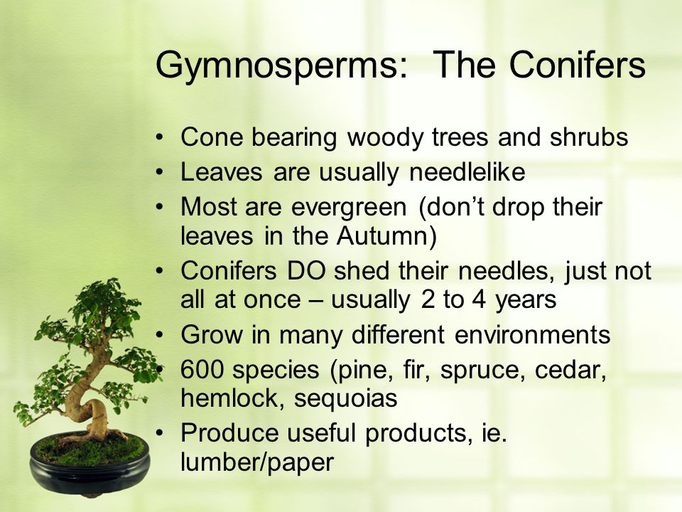 Gymnosperms: The Conifers Cone bearing woody trees and shrubs Leaves are usually needlelike Most are evergreen (don't drop their leaves in the Autumn)
