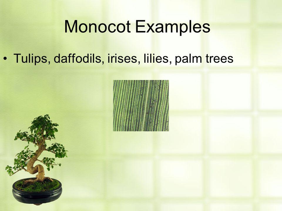 Monocot Examples Tulips, daffodils, irises, lilies, palm trees